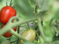 Krohn Edible Tomato